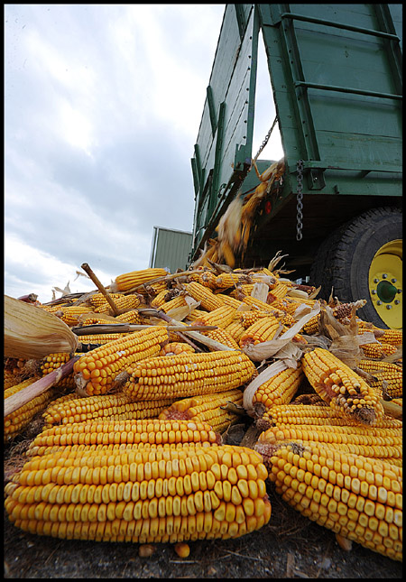 corn 1 101309blog